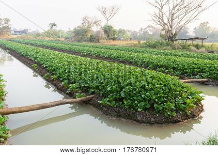 Chinese cabbage (bog choy) vegetable farm field in the morning
