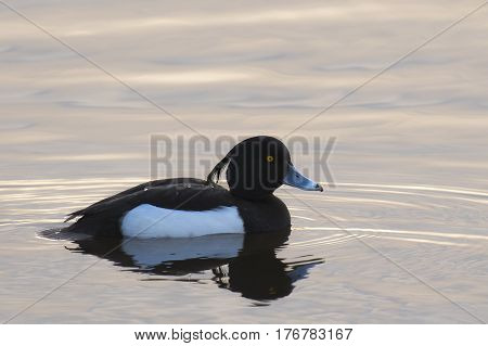 Tufted Duck (Aythya fuligula) drake swimming in water of a Lake in late afternoon sunlight