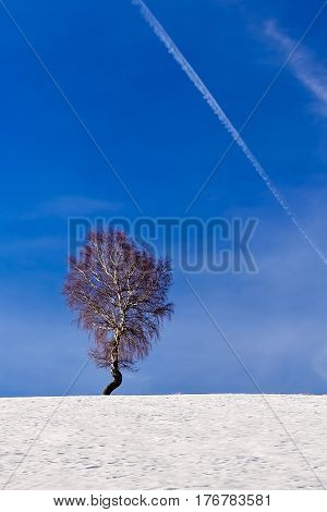 Lone tree in winter on top of the hill with blue sky and chem trail