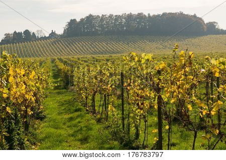 Grapevine leaf colours at Autumn (Fall) in vineyard at Dorking in Surrey England