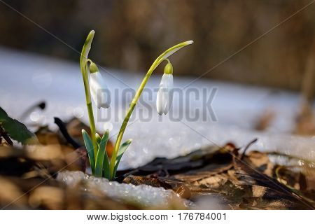 Snowdrops growing in forest through old leaves and snow patches. Warm sunlight emphasizes the purity and tenderness of snowdrops.