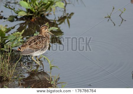 A young snipe feeding on the edge of a lake in north east england.