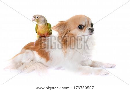 chihuahua and conure in front of white background