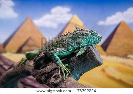 A big green iguana on a snag against the Egypt pyramides background