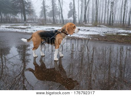 Dog Beagle standing in a large puddle of water on a leash