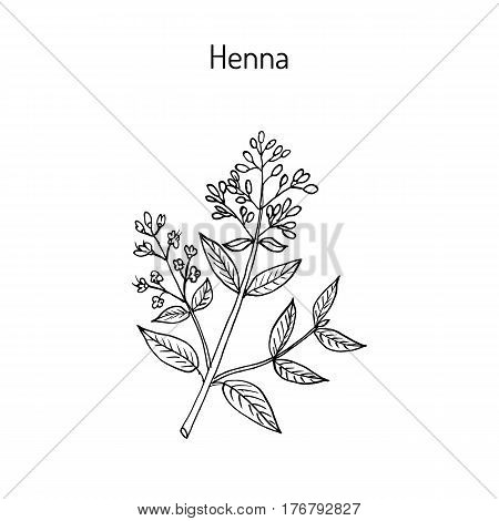 Henna or hina, henna tree, mignonette tree, Egyptian privet. Hand drawn botanical vector illustration