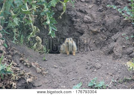 gopher protects the burrow from predators and people