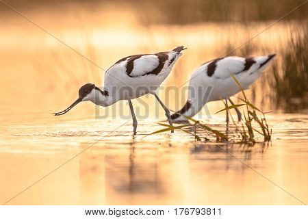 Foraging Pied Avocets
