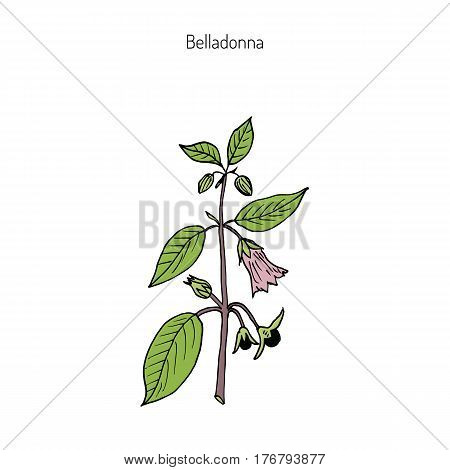 Atropa belladonna, or deadly nightshade, medicinal plant. Hand drawn botanical vector illustration