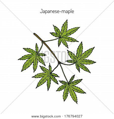Acer japonicum, Amur maple, Japanese-maple, or fullmoon maple. Hand drawn botanical vector illustration