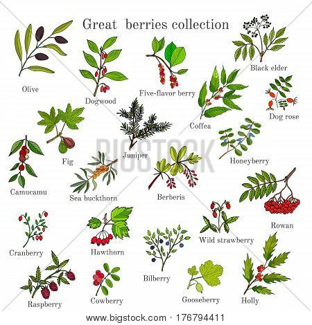 Vintage collection of hand drawn berries plants. Vector illustration