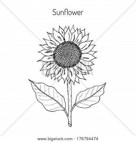 sunflower Helianthus annuus . Hand drawn botanical vector illustration