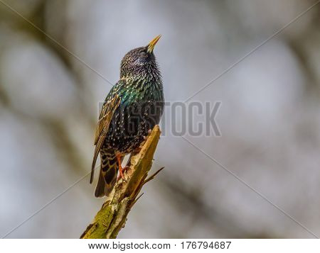 Singing Common Starling