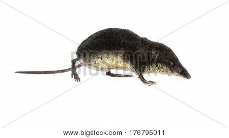 Water Shrew On White Background