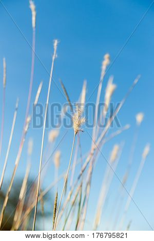 Wild grass seedheads close up in field in selective focus.