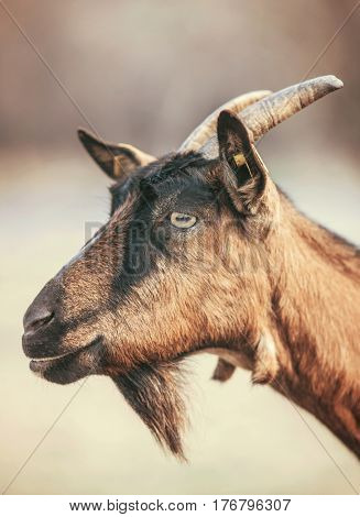 Portraite of goat