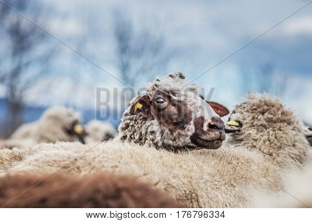 Beautiful portraite of sheep