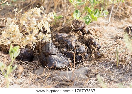 horse dung . Photo taken by professional camera and lens