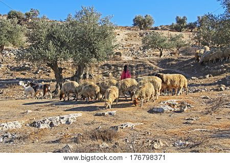 JERUSALEM, ISRAEL - OCTOBER 25, 2013:  Shepherdess tending her sheep in an olive grove between Jerusalem and Bethlehem, Israel.