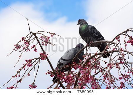 Pair of pigeons sitting in a weeping cherry tree covered in pink flower blossoms
