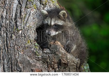 Young Raccoon (Procyon lotor) Looks Left From Knothole - captive animal