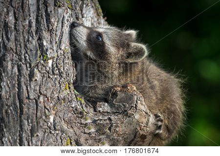 Young Raccoon (Procyon lotor) Looks Up in Knothole - captive animal