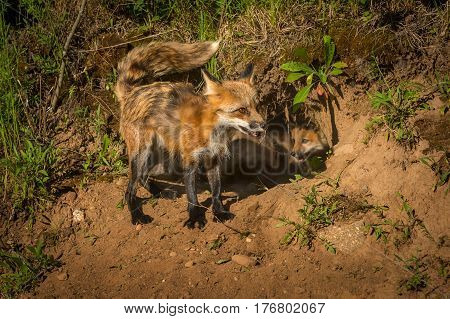 Red Fox Vixen (Vulpes vulpes) Tail Up with Kits in Den - captive animals