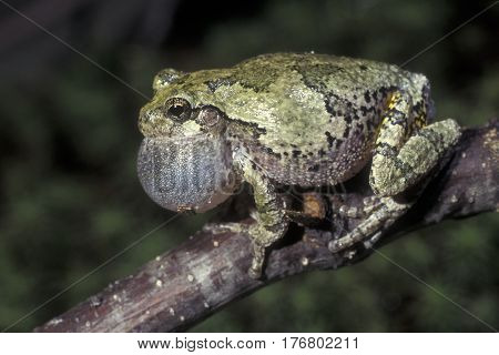 A Gray Tree Frog, Hyla versicolor calling from a tree branch at night