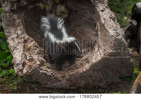 Striped Skunk Kit (Mephitis mephitis) Stands in Log Looking at Adult - captive animals