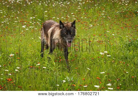 Black Phase Grey Wolf (Canis lupus) Runs Ears to Sides - captive animal