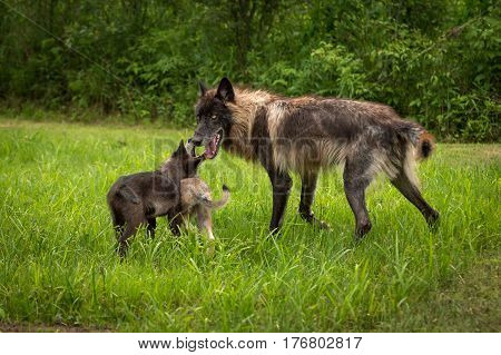 Black Phase Grey Wolf (Canis lupus) Greeted by Pups - captive animals