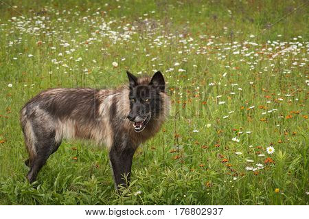 Black Phase Grey Wolf (Canis lupus) Looks Back in Field - captive animal
