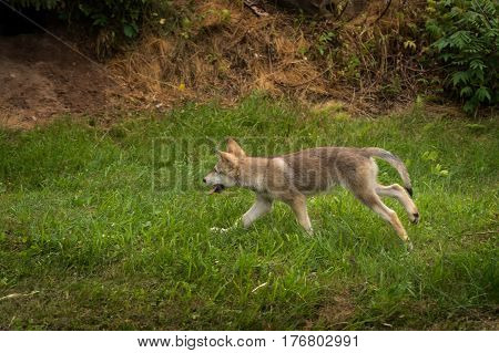 Grey Wolf Pup (Canis lupus) Runs Left - captive animal