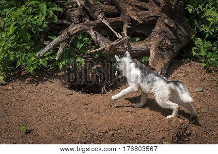 Marble Fox (Vulpes vulpes) Looks Into Den - captive animal