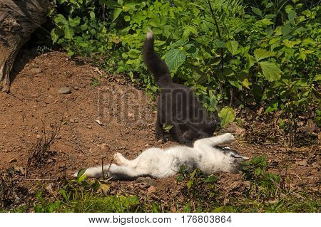 Marble Fox (Vulpes vulpes) Rolled by Silver Fox - captive animals