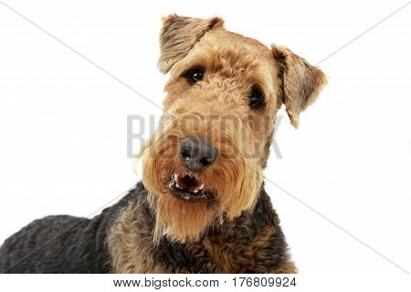 Portrait Of An Adorable Airedale Terrier