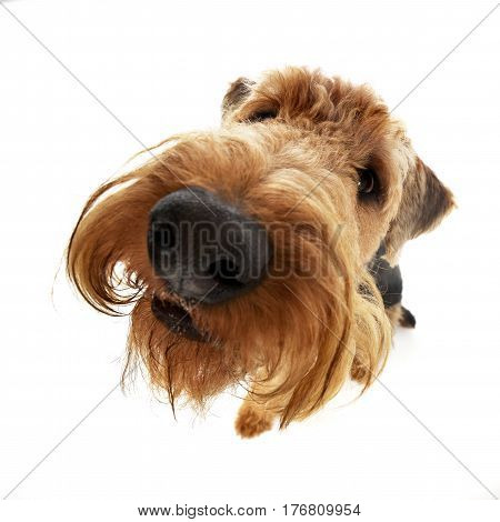 Wide Angle Shot Of An Adorable Airedale Terrier