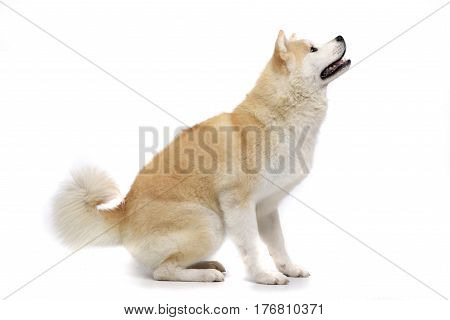 Studio Shot Of An Adorable Akita Inu