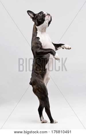 Studio Shot Of An Adorable Boston Terrier