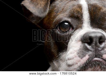 Portrait Of An Adarable Boxer