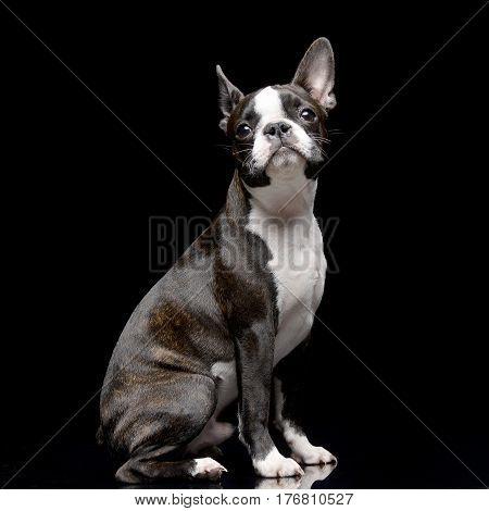 Studio Shot Of An Adarable Boston Terrier