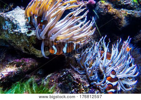A lot of clownfishes and sea anemones in a colorful fish tank. New Providence Island, Nassau, Bahamas.