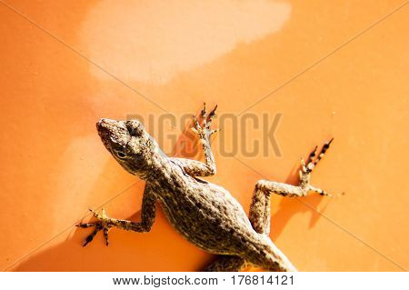 Small lizard on an orange road sign during a beautiful sunny day. New Providence Island, Nassau, Bahamas.
