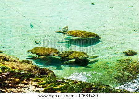 A family of young beige & brown turtles in a clean water pond. New Providence Island, Nassau, Bahamas.