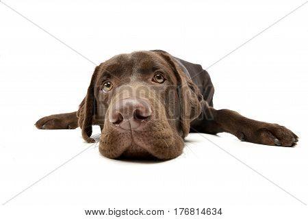 Wide Angle Shot Of An Adorable Labrador Retriever