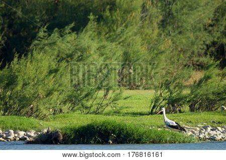 lonely stork in a meadow, Spain.