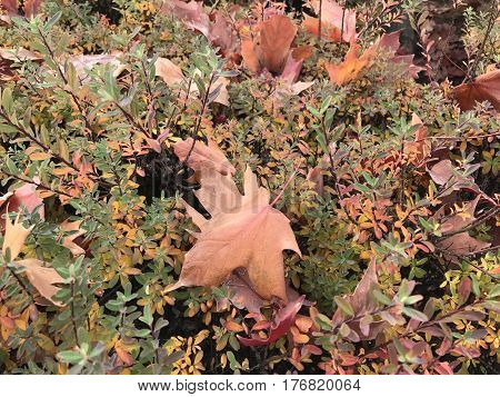 Large maple leafs full of beautiful fall color on a bush in Central Oregon.