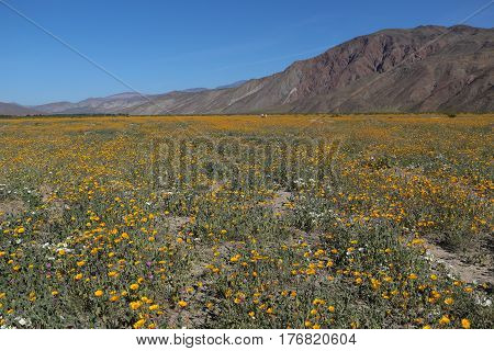 Huge wildflower bloom (desert sunflowers) in Anza Borrego Desert State Park, San Diego County, California, field and mountains.