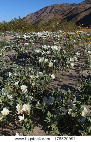 Dune evening primroses in huge wildflower bloom in the Anza Borrego Desert, San Diego County, California peaking now (3/2017).