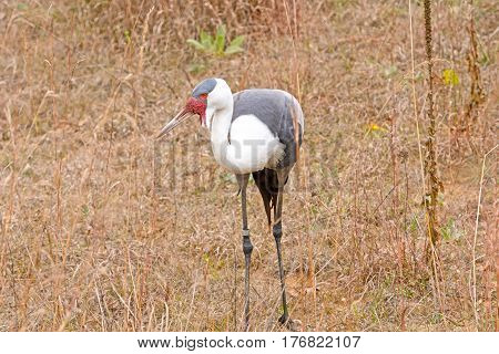 Wattled Crane in a Field in the International Crane Foundation in Baraboo Wisconsin